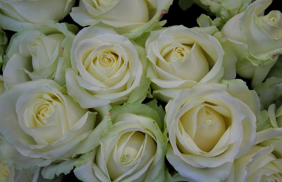 White Roses, Roses, White, Market, Shooting Club