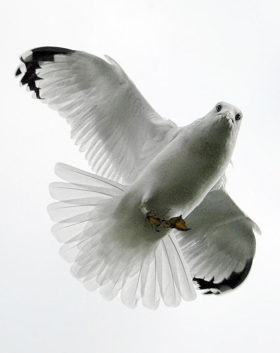 Seagull, Bird, Feather, White, Wildlife, Gull, Wing