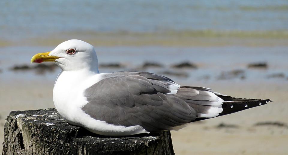 Animal, Sea, Bird, Seagull, White, Grey, Seaside, Beach