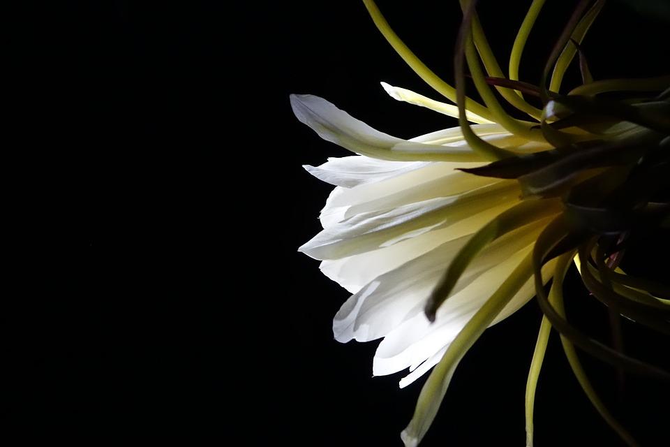 Flower, Pitaya Flower, White, Pure, Serenity