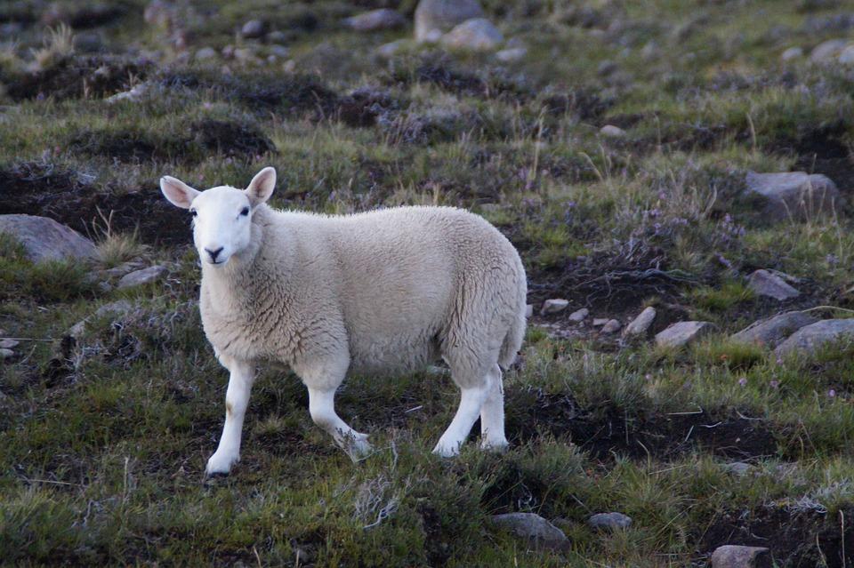 Sheep, Highlands And Islands, Scotland, White