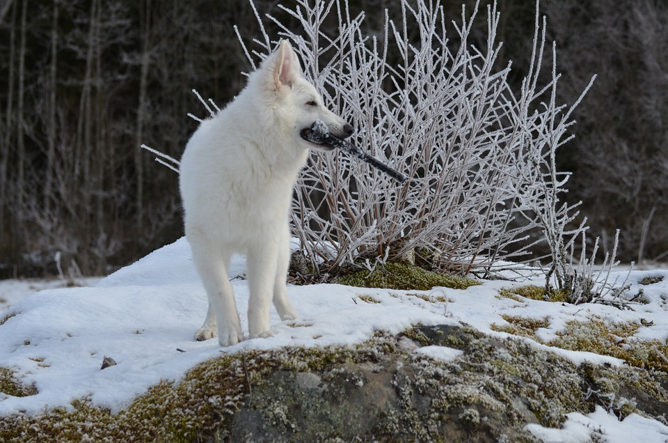 Animal, Dog, White Shepherd