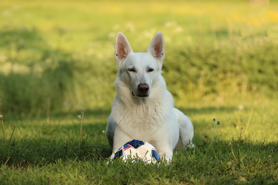 White, Shepherd Dog, White Shepherd Dog