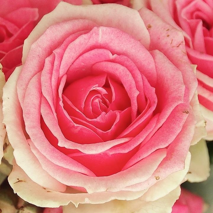 Rose, Pink, White, Schnittblume, Single Flower