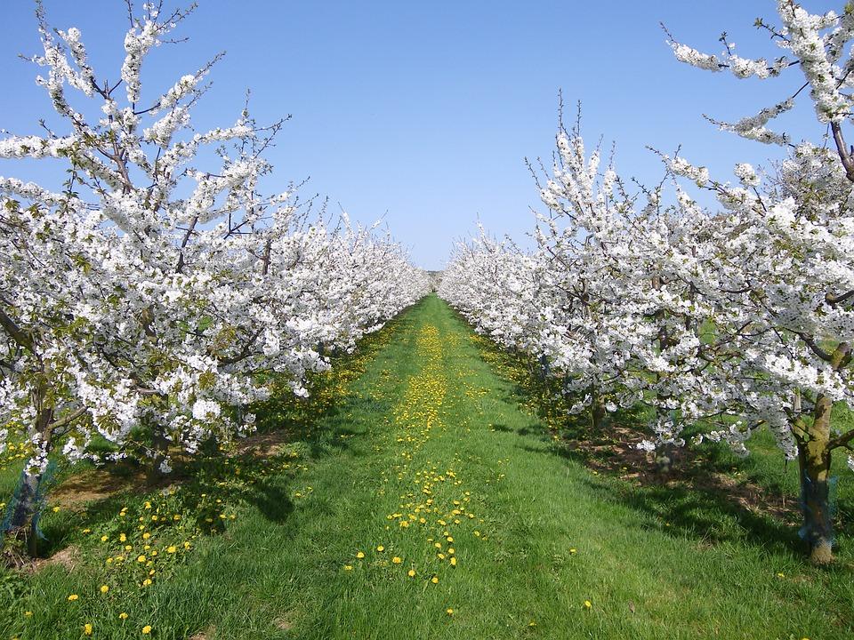 Cherry Trees, Cherry Blossom, Spring, White, Sky