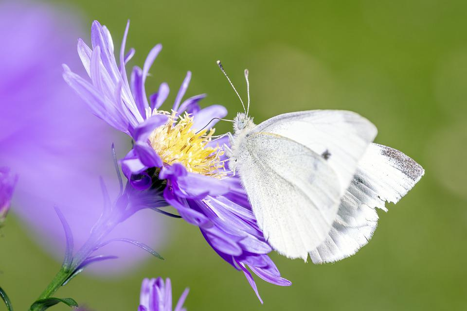 Pieris Rapae, Small Cabbage White Ling, White