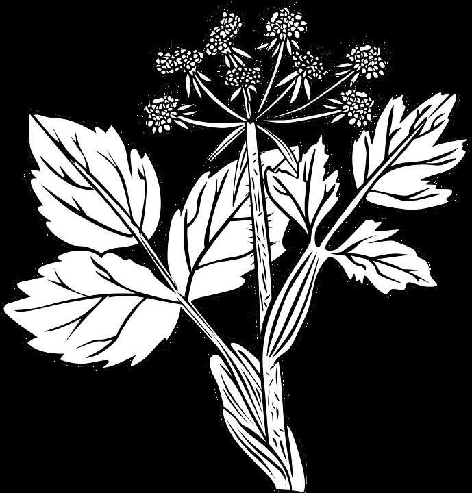 White Snakeroot, Plant, Flowers, Black And White