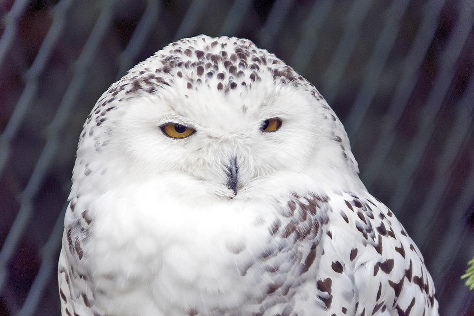 Snowy Owl, Owl, Bird, White, Raptor, Snow Owl