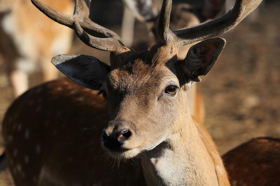 Young Deer, Horns, Male, Animal, Brown, White Spots
