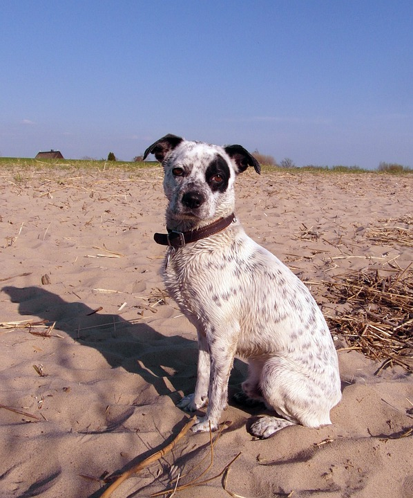 Dog, Hybrid, Male, White, Black, Spotted, Pirate, Eye