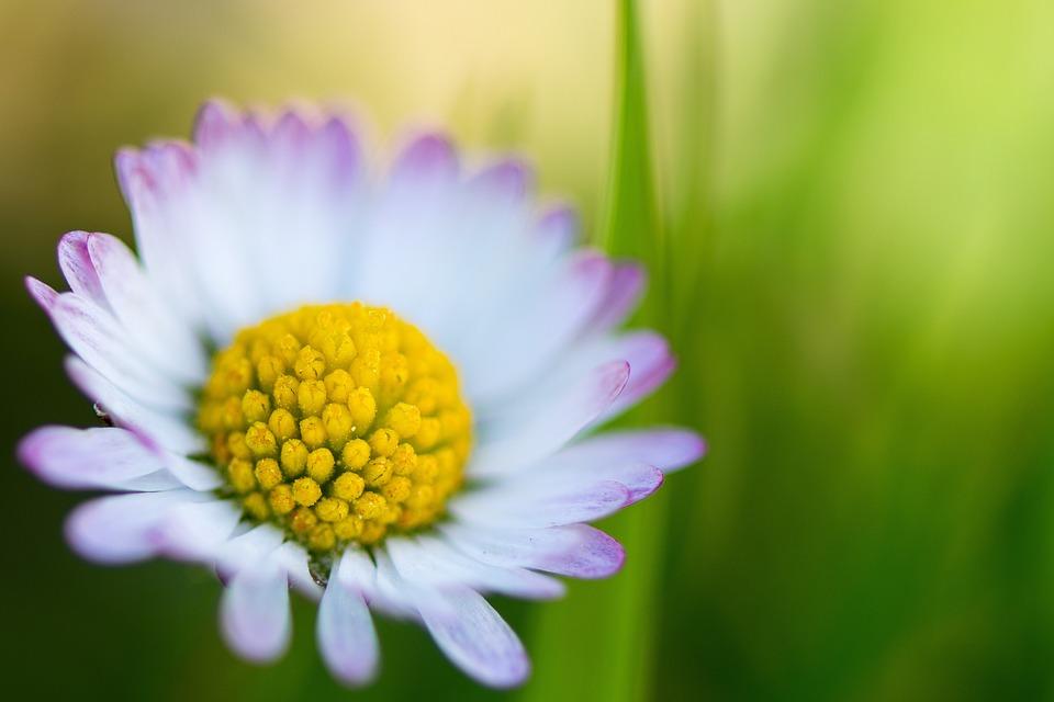Daisy, Margaret, Margaretenblume, Flower, White, Spring