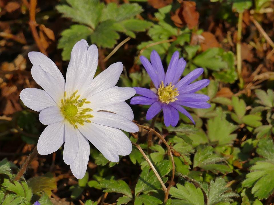 Spring, Annemone, White, Blue, Nature, Plant, Flower