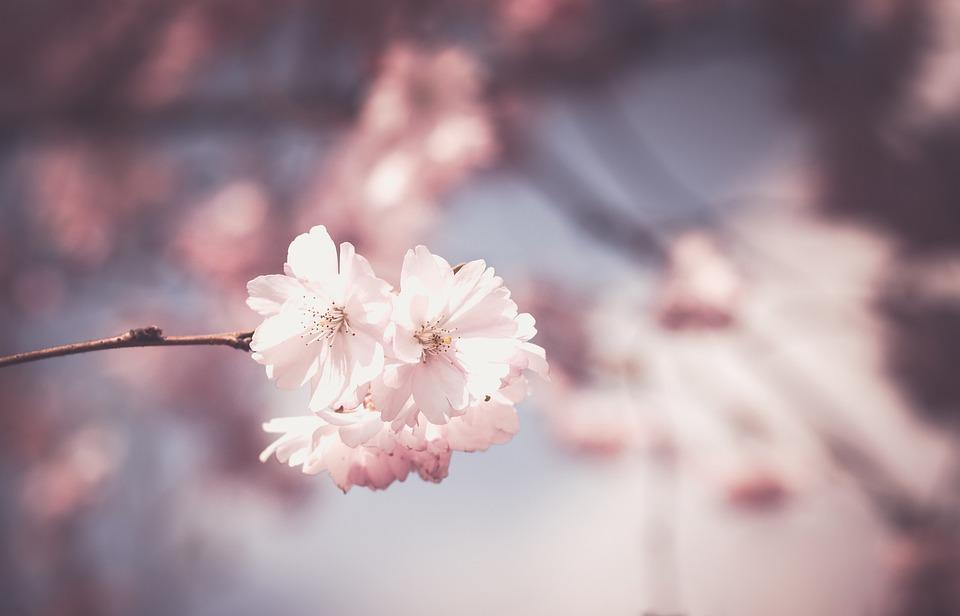 Pink, Flower, Tree, Bloom, Spring, Floral, White