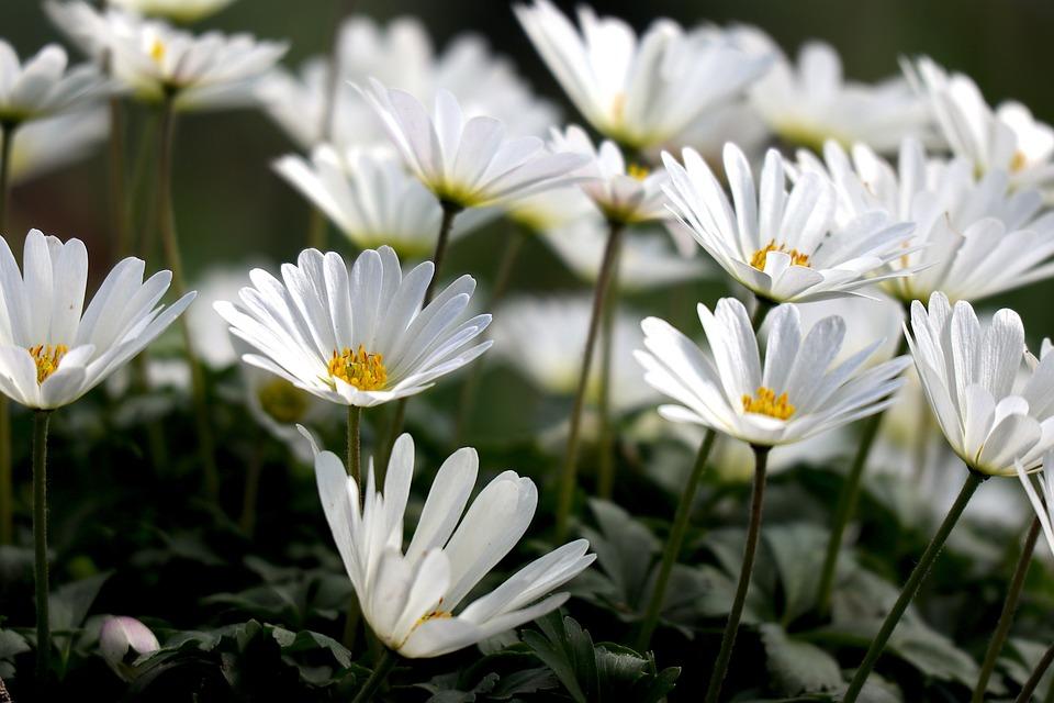 Wood Anemone, Spring, Flowers, Bloom, White