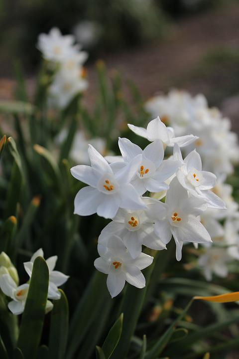 Free photo white spring flowers bulbs max pixel flowers white bulbs spring mightylinksfo