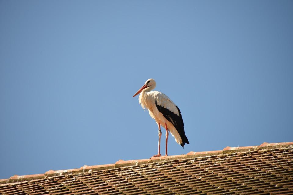Rattle Stork, Stork, Bird, Animal, White Stork, Roof