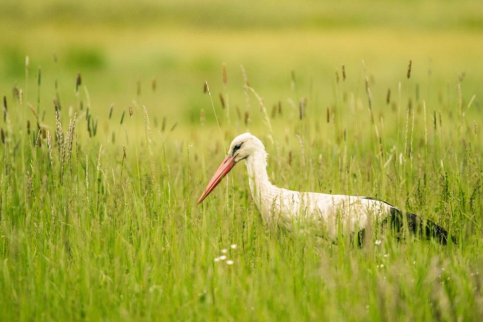 Stork, Meadow, Bird, Nature, Animal, Bill, White Stork
