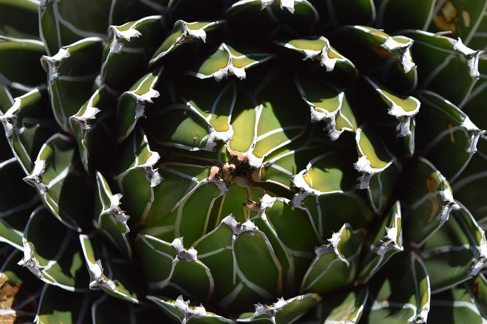 Cactus, Succulent, Green, White, Pattern, Close Up