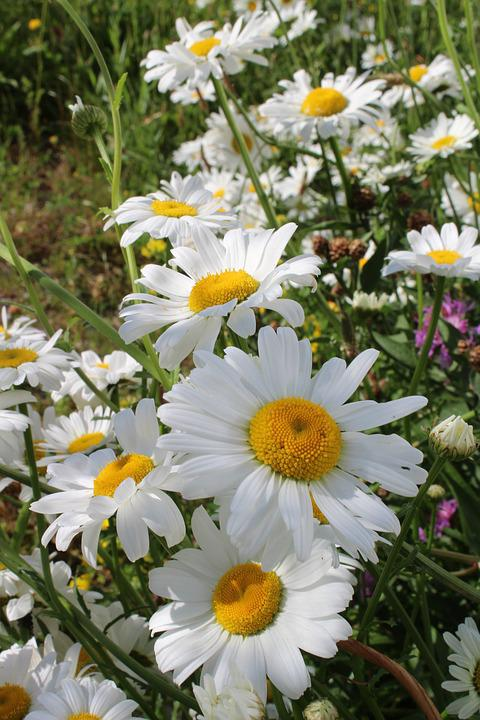 Marguerite, Flower, Green, Nature, White, Summer