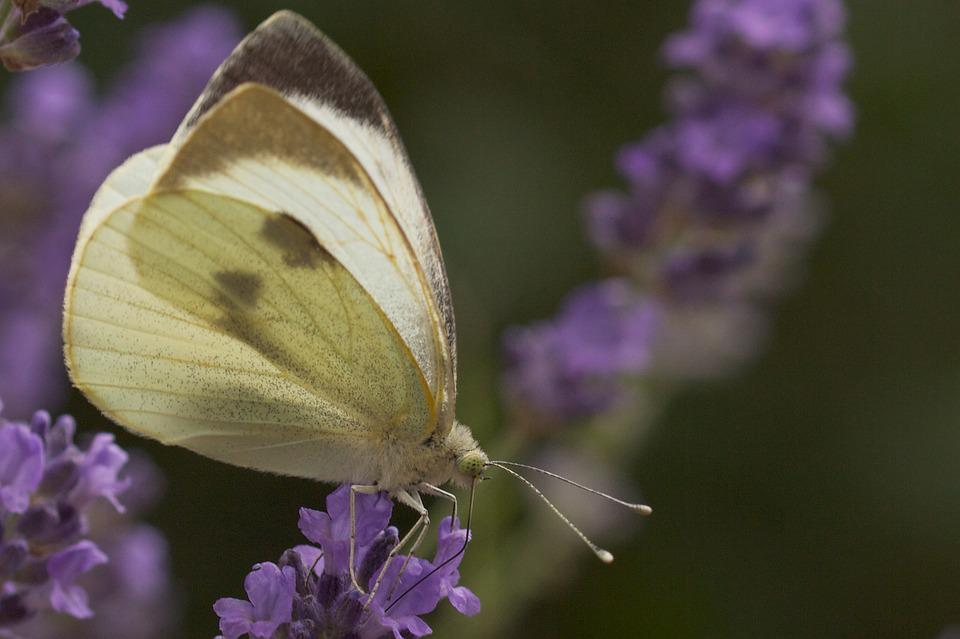 White, Lavender, Butterfly, Summer, Nature, Close