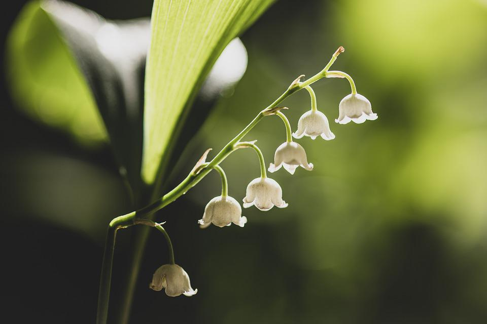 Lily Of The Valley, White, Green, Light, Sun, Morning