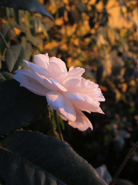 Rosa, Garden, Nature, Flower, Pink, White, Sunset