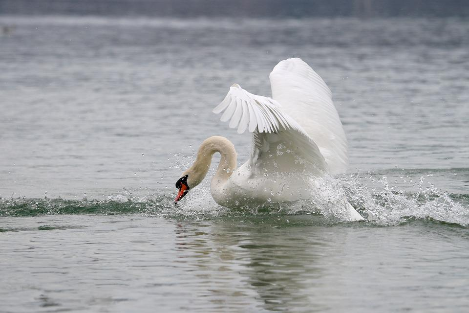 Swan, Lake, White Swan, Animal World, Waters, Bird