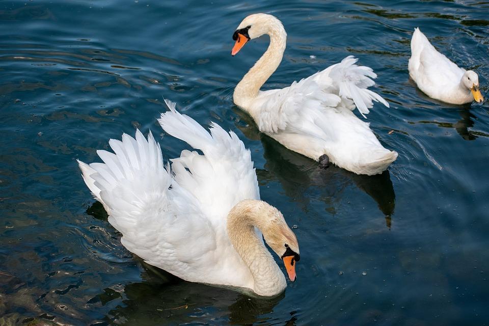 Swan, Mute Swan, White Swan, Waterfowl, Lake, Nature