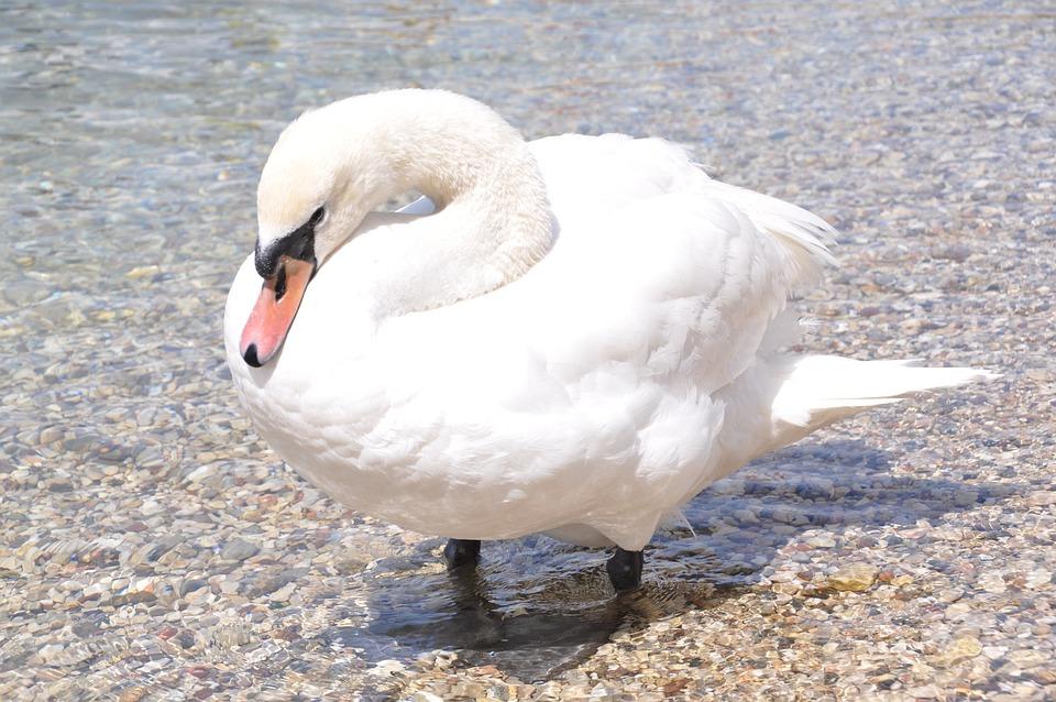 Swan, White, Bird, Water Bird, Lake, White Bird