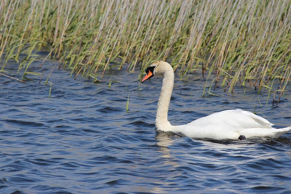 Swan, Water Bird, White Swan, Wildlife Photography