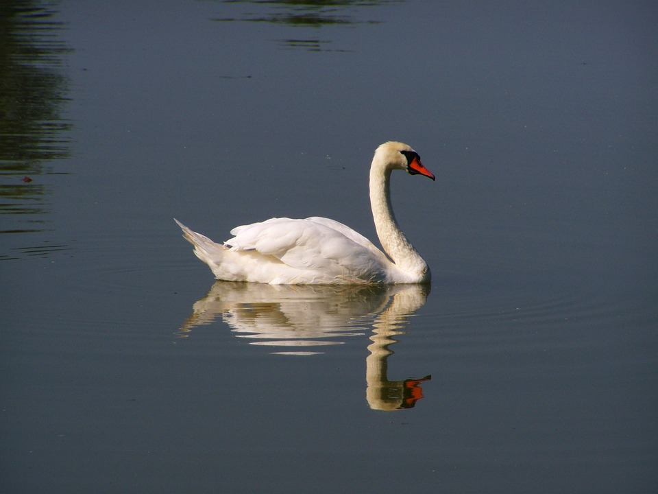 White Swan, Water Bird, Water Surface, Reflection