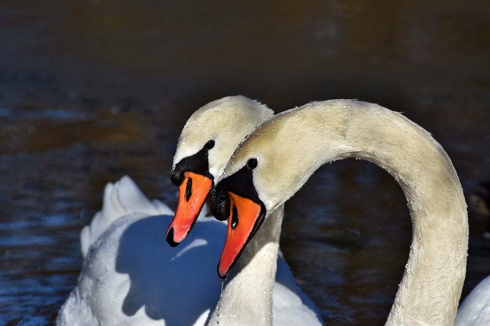 Swans, Pair, Birds, White Swans, Bill, Water Birds