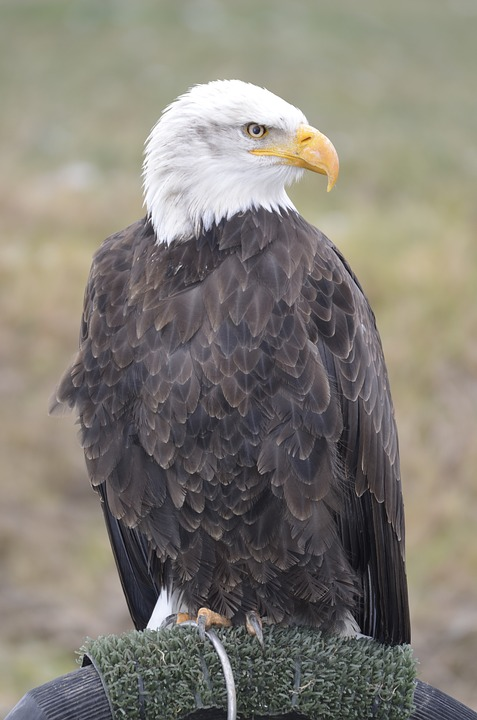 White Tailed Eagle, Eagle Feathers, Falconry