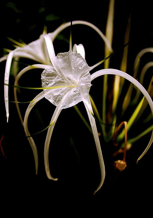 Flowers, White, Green, Nature, Thailand, Flower, Plant