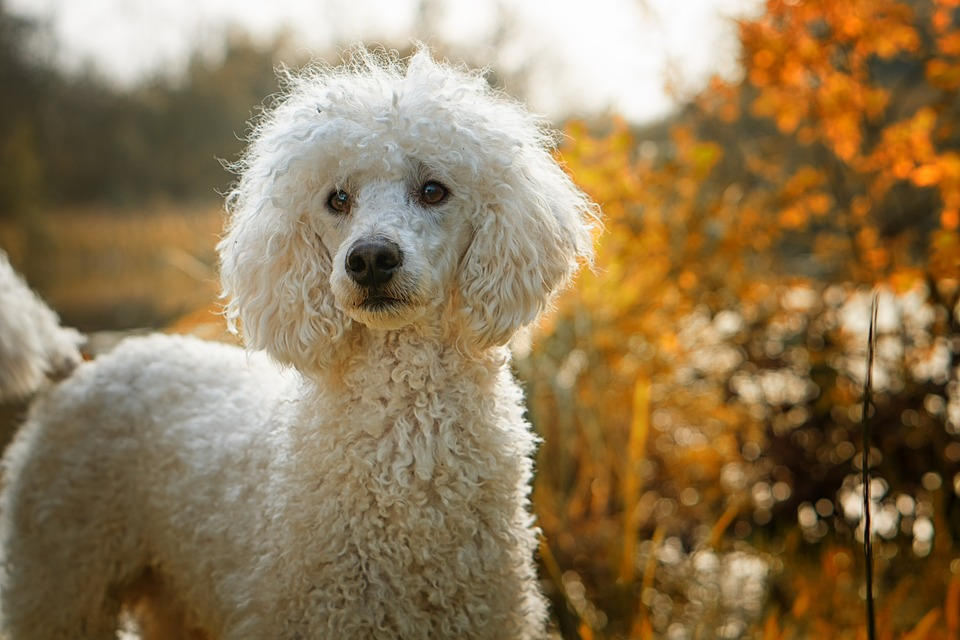 Dog, Poodle, The Poodle, The Dog Breed, White, Autumn