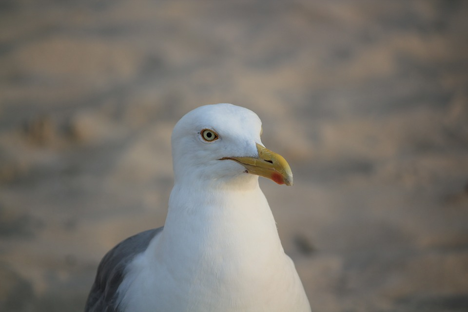 Seagull, White, Portrait, Posing, The Head Of The