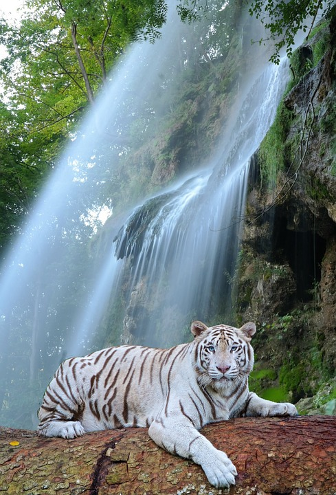 Waterfall, White Tiger, Predator, Tiger, Wildcat