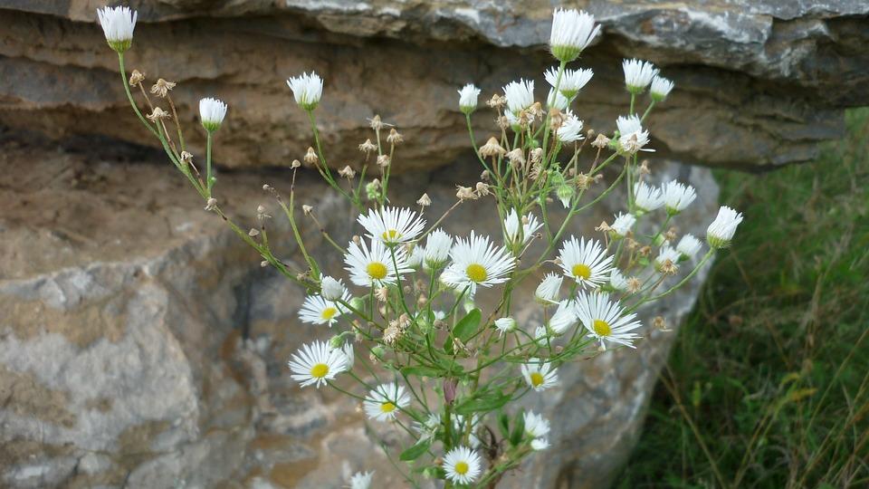 Free photo white tiny wild flower mountain aster flowers rock max mountain aster wild flower tiny white flowers rock mightylinksfo