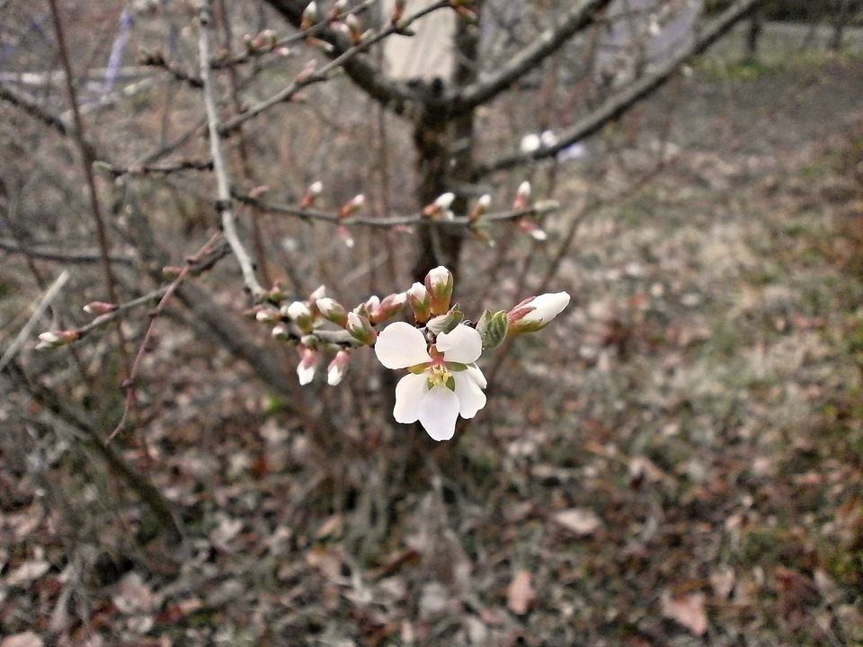 Tomentosa, Cherry, Plum, Spring Flowers, White