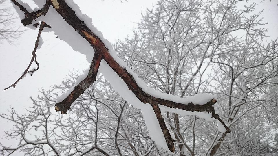 Tree Branch, Tree, Winter, Snow, White, Nature, Sweden