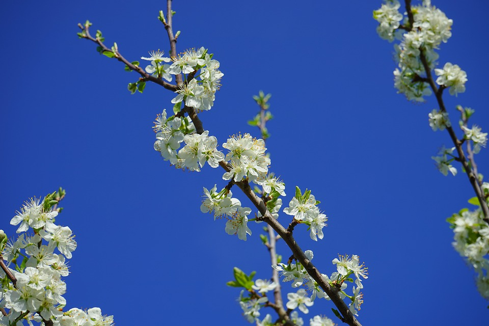 Cherry Blossoms, Branch, White, Flowers, Tree