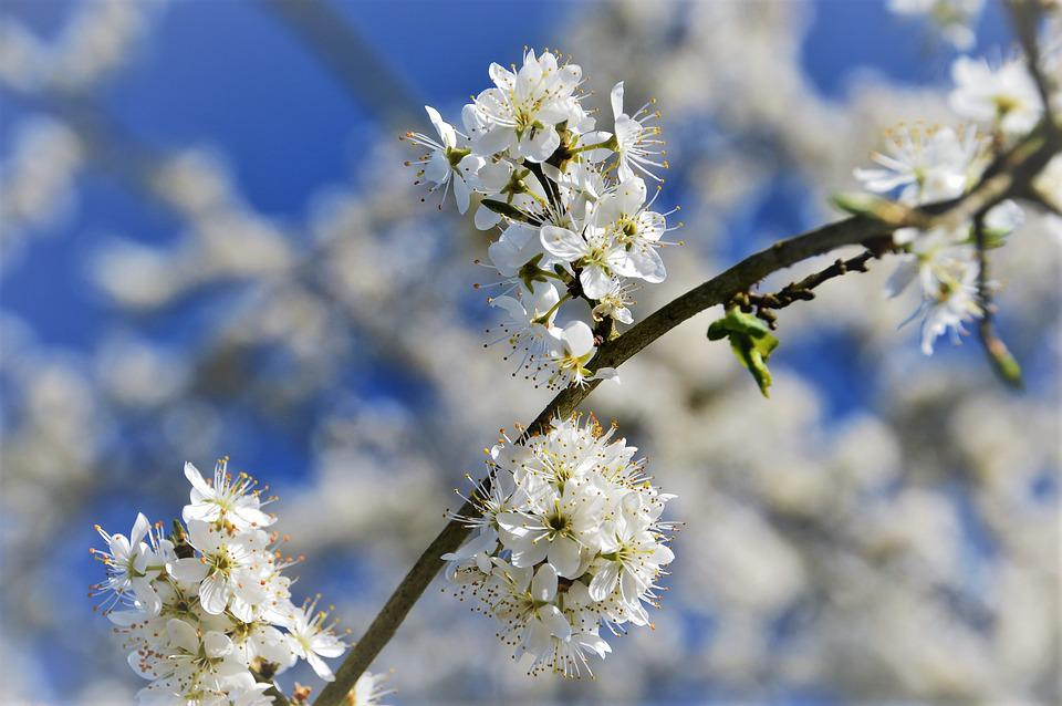 Cherry, Tree, Branch, Japanese, White, Flowering