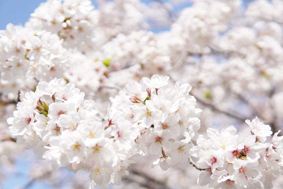 Japanese Cherry Blossoms, White, Flowers, Tree