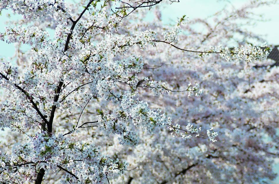 White, Tree, Flower, White Blossom, Spring
