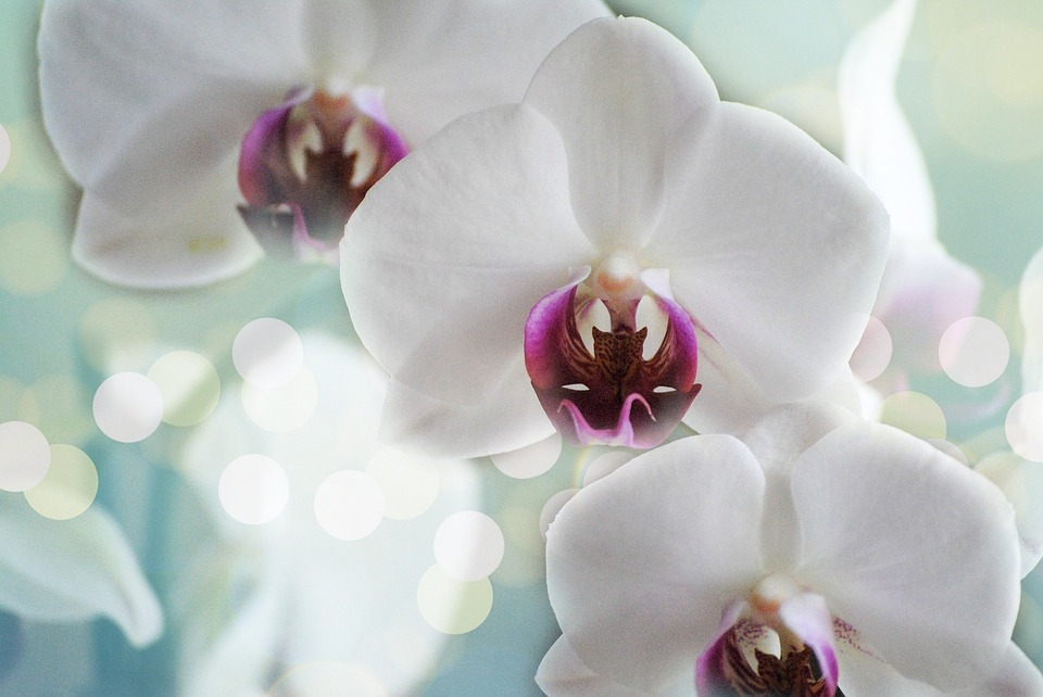 Orchids, White, Flower, Nature, Tropical, Petal, Bloom