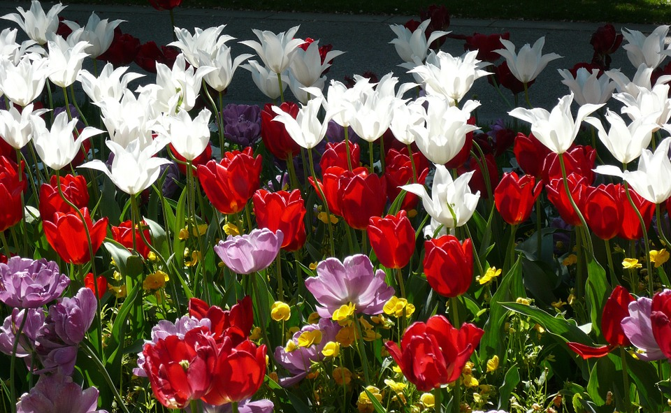 Flowers, Tulips, Red, White, Nature, Color, Back Light