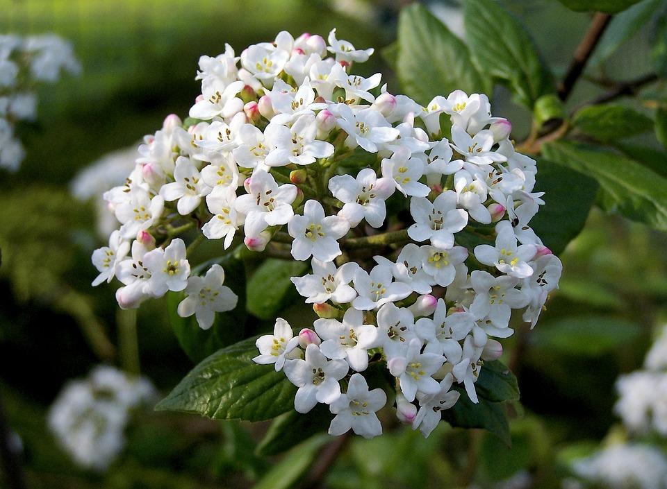 Fragrant Bangi, Viburnum, Shrub, White, Bloom