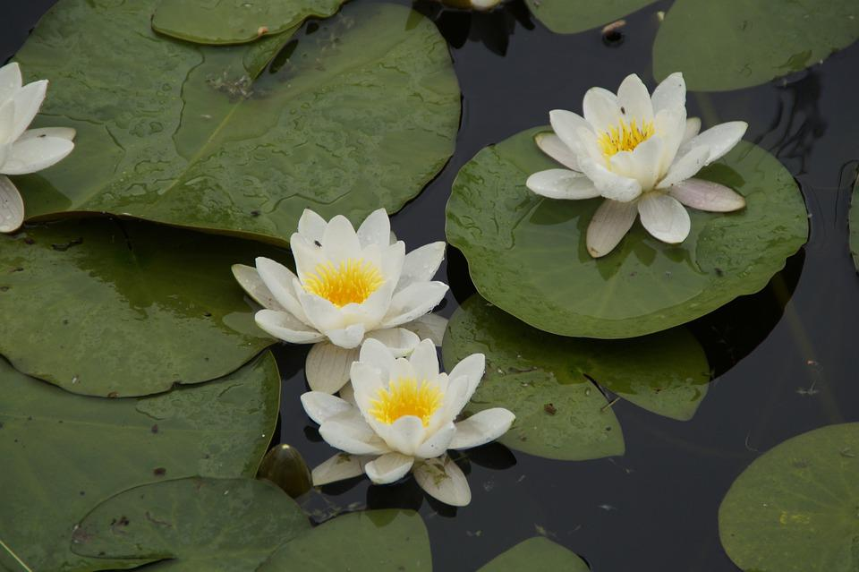 Water Lilies, White Water Lilies, Bloom, Blossom, Bloom