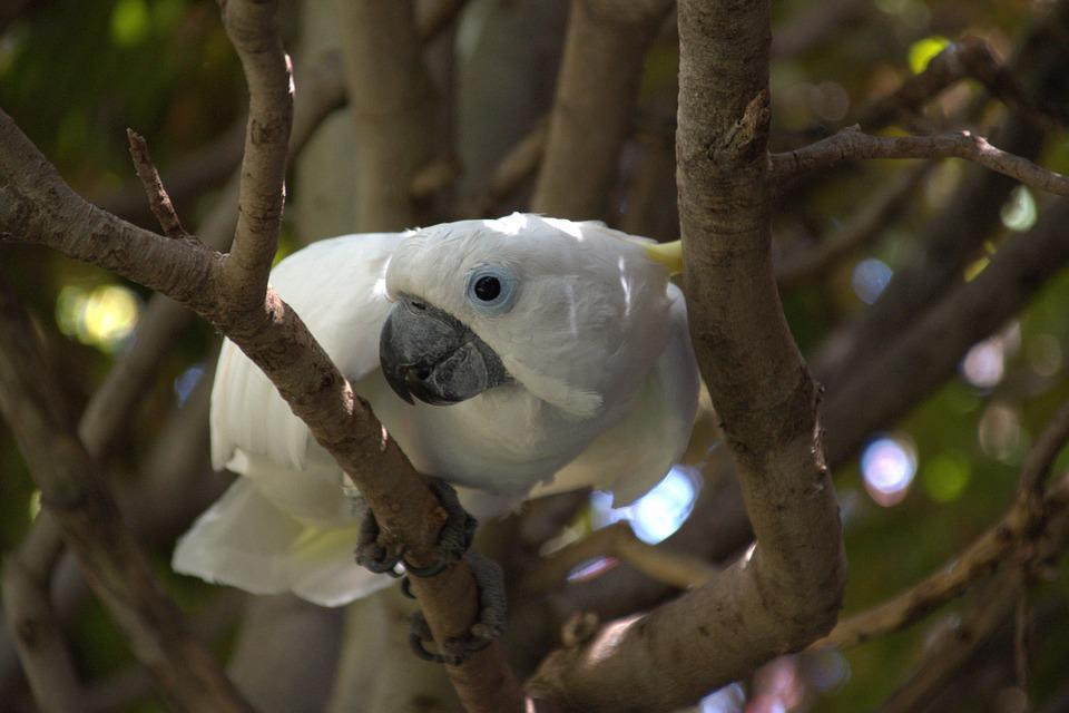 Cockatoo, Parrot, White, Bird, Animal, White Cockatoo