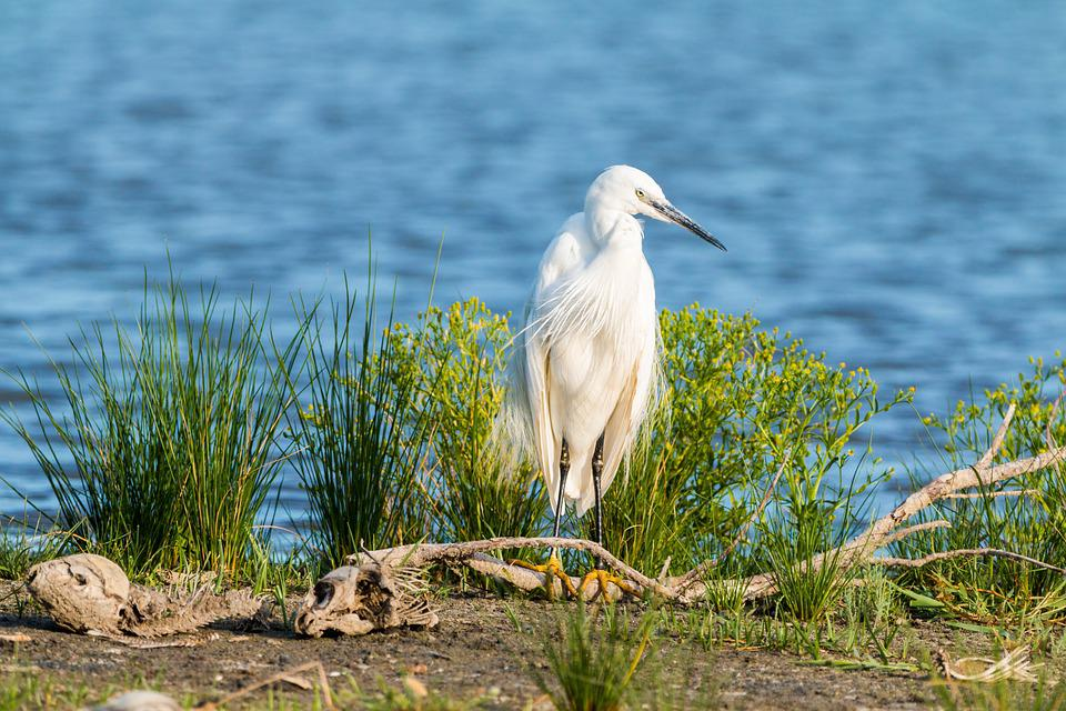 Little Egret, White Heron, Screaming Birds, White